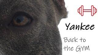Super American Staffordshire Terrier - Dog GYM - #DJIosmopocket