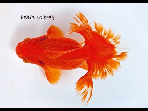 Gold fish types and their names