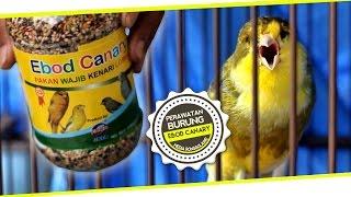BIRD MARKET : Pakan Kenari Ngedur Panjang Juara Nasional Pakai EBOD CANARY