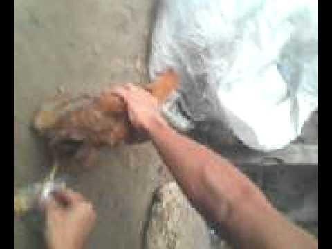estrupo de galinha