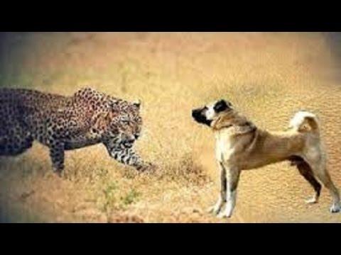 Kangal dogs vs leopard Dogs vs bear
