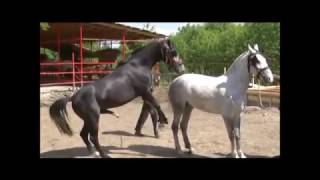 Ultimate CRNI PASTUV I BELA KOBILA -  BLACK STALLION AND THE WHITE MARE Compilation