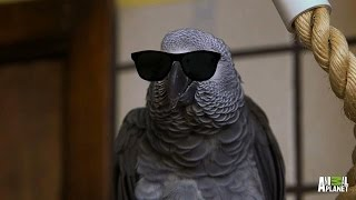 Meet Santos: The Rapping, Potty Mouth Parrot