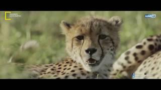البلاتوه | السر وراء انقراض فصيلة السناجل العملاقة في نشوى جيوجرافيك