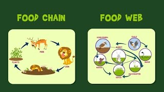 Food Chain   Food Web   Video for Kids