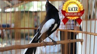 HOBBY BURUNG : Tips Pak Dosen Orbitkan Burung Kacer Jawara