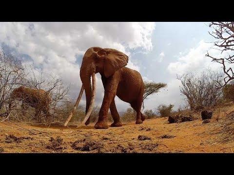 Xxx Mp4 Elephant Has Longest Tusks 3gp Sex