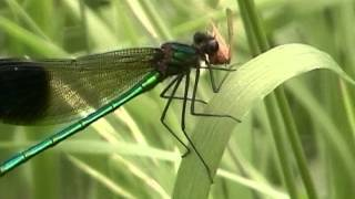 Dragonfly And Damselfly Eating!