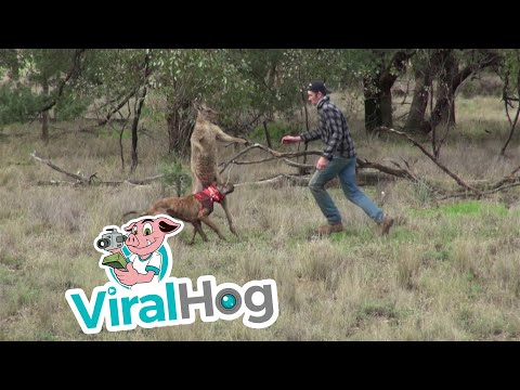 Xxx Mp4 Man Punches A Kangaroo In The Face To Rescue His Dog Original HD 3gp Sex