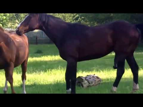 Stallion covering mating a mare. Just a quickie