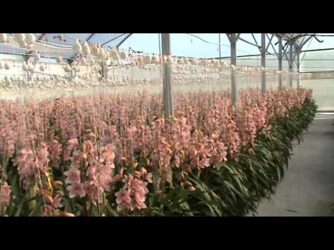 Cymbidium Production at New Zealand Bloom Supplier