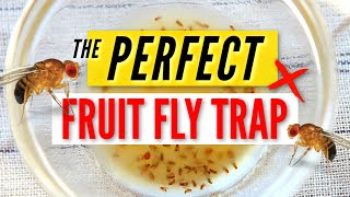 THE PERFECT FRUIT FLY TRAP   easy DIY, effective & simple life hack!