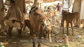 Goat Market for Bakri Eid near Jama Masjid, Old Delhi