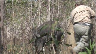 Lynn Thompson gets charged by buffalo