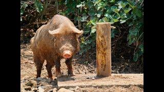 Cerdo Casco de Mula - TvAgro por Juan Gonzalo Angel