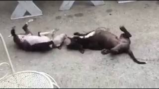 Borba pasa u Crnoj Gori