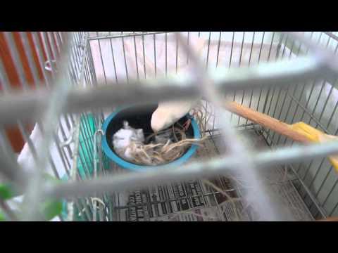 Canária fazendo ninho