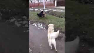 Borba pasa #dog fight