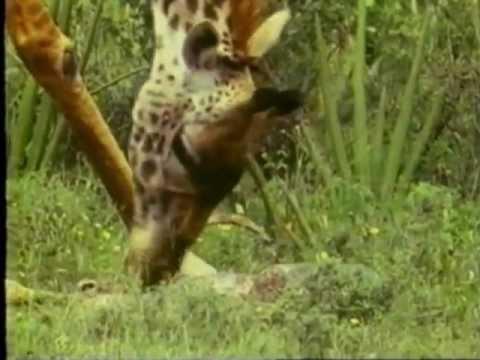 In Wildest Africa Na Africa Selvagem