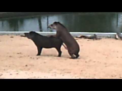 tapir superdotado