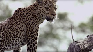 Leopard Mother Rescues Cub from Wild Dogs | BBC Earth