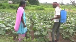 Organic pesticide spray in brinjal cultivation Odia PRADAN Odisha