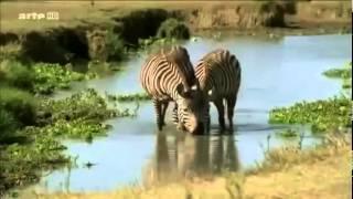 la savane africaine documentaire animaux sauvages film en entier   HD les lions et les gnous mp4