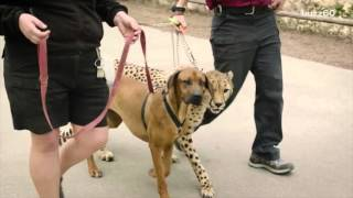 Cheetah and dog race in epic video to see who