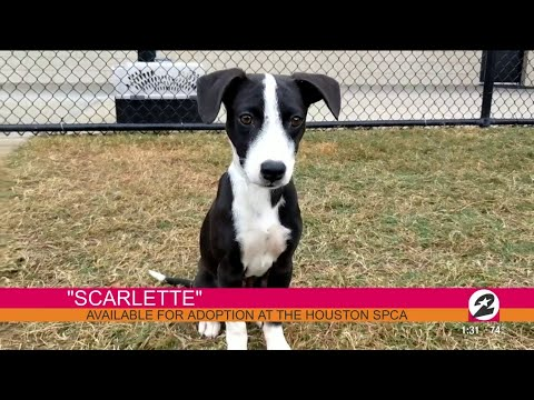 Xxx Mp4 HL 39 S Pet Of The Week Scarlette From Houston SPCA 3gp Sex