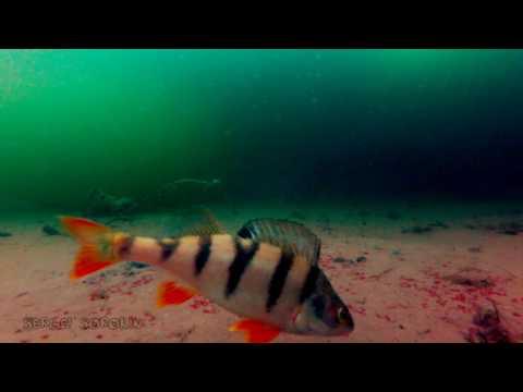 подводная съемка клева плотвы