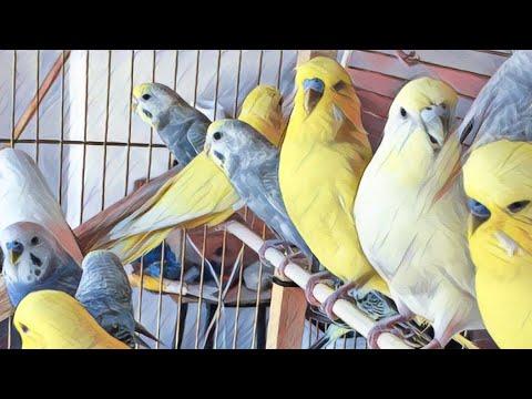 Muhabbet Kuşu Banyo - Muhabbet kuşu Sesi DİŞİ -ERKEK4 dk