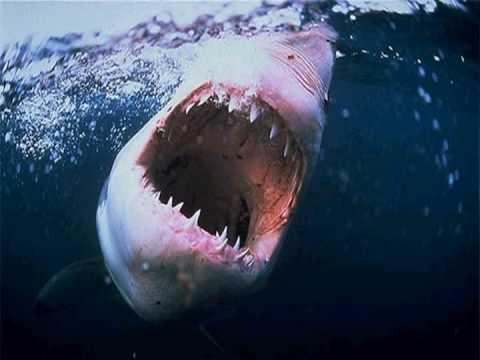 TUBARÃO ASSASSINO JAWS PONHA UM TUBARÃO NO SEU TANQUE
