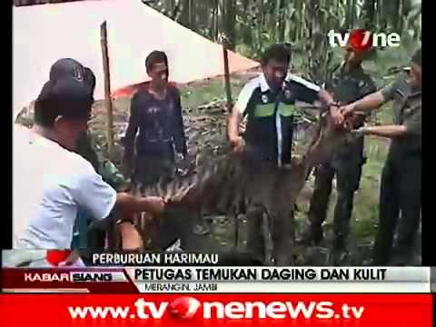 Harimau Sumatera Jadi Santapan Suku Anak Dalam Jambi