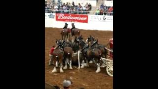 Budweiser Clydesdale Horses accident