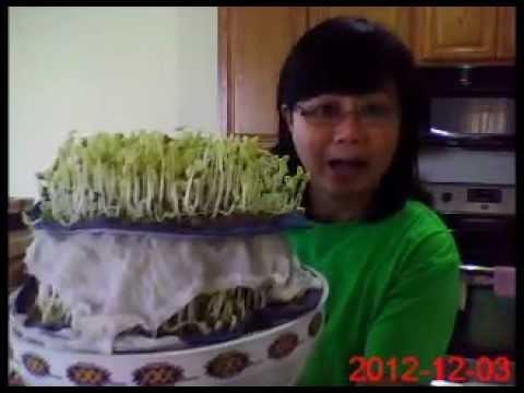 เพาะถั่วงอกง่ายๆ รดน้ำวันละครั้งเดียว How to grow bean sprouts watering once a day only