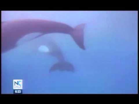 Imágenes de un grupo de orcas que caza a tiburón tigre en la Isla del Coco