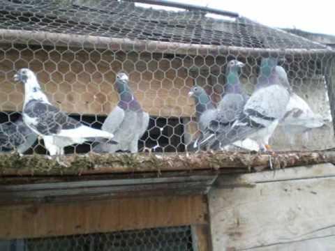 porumbei campioni