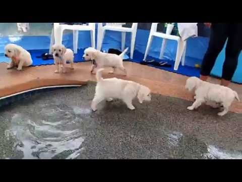Xxx Mp4 Eight English Cream Golden Retriever Puppies First Swim Amp Jump 3gp Sex