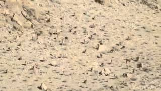 Hazaraganji park Quetta... Curve horns Markhor