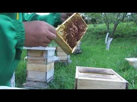 как ловить рои пчел в лесу