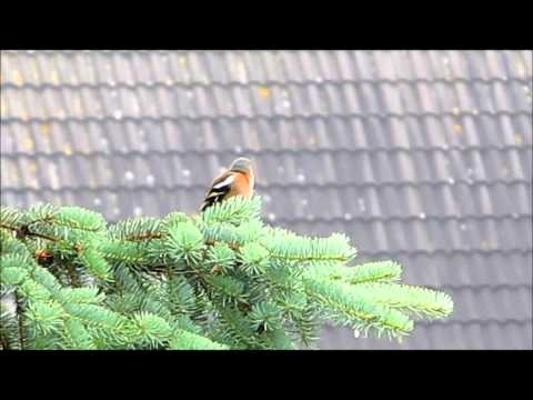 Frühkonzert eines Buchfink Männchens