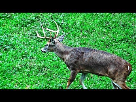 Xxx Mp4 Whitetail Buck Hunting The Rut 2018 Pa Bowhunting Archery Deer Season John S Rut Report 3gp Sex