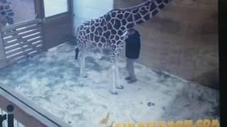 April the hormonal giraffe kicks the vet