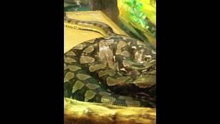 Green Anaconda vs Reticulated Python