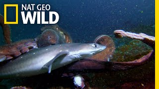 Octopus vs. Shark | Shark vs. Predator