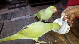 Kabhi kisi mitthu ko chai pite dekha h....(parrot drinking tea)