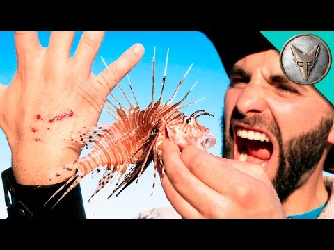 STUNG by a LIONFISH