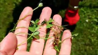 How To Kill Clover Without Chemicals