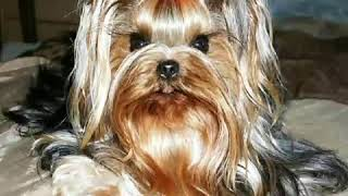 Yorkie singing Happy Birthday Cute and Funny Video