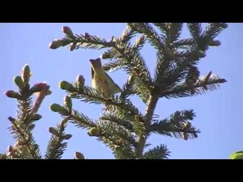 Vögel und ihre Stimmen II